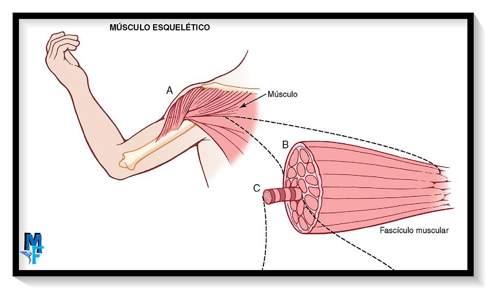 Músculo esqueletico: Miofibrillas