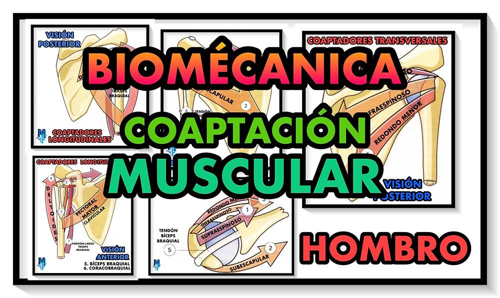 coaptación muscular del hombro- miranda fisioterapia blog