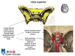 Huesos del cráneo: hueso esfenoides vista superior
