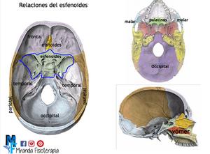 Huesos del cráneo: relaciones del esfenoides