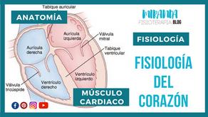 Fisiología del corazón: anatomía y músculo cardíaco como sincitio