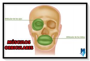 músculos orbitales - miranda fisioterapia blog