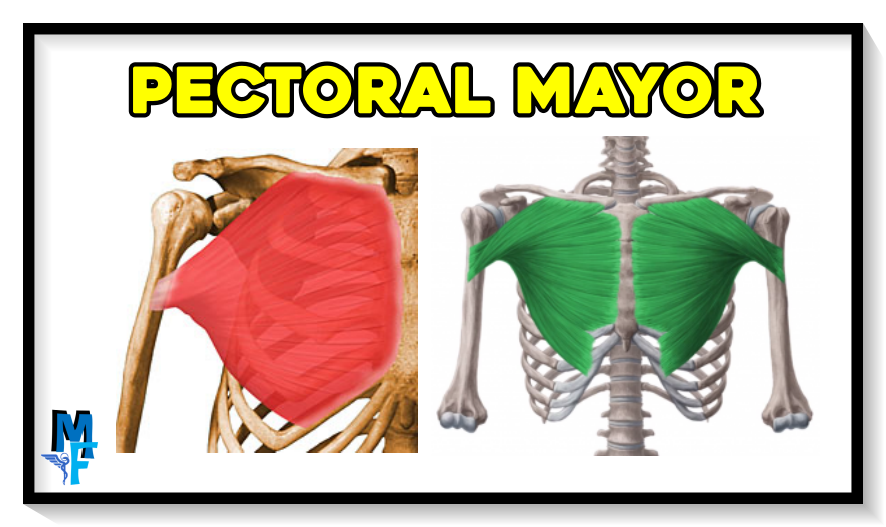 pectoral mayor