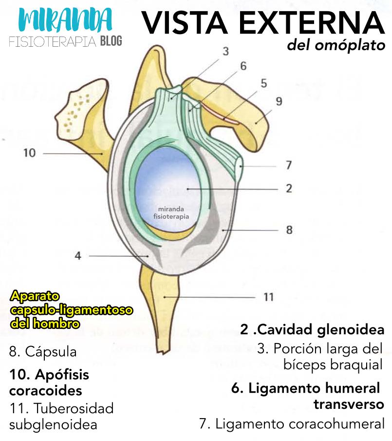 vista externa del omóplato - aparato capsulo-ligamentoso del hombro