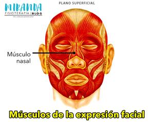Músculo nasal - músculos de la expresión facial