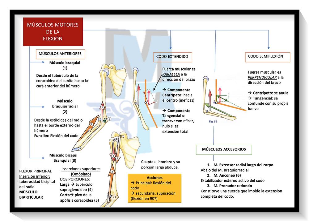 músculos flexores del codo - Miranda Fisioterapia BLOG