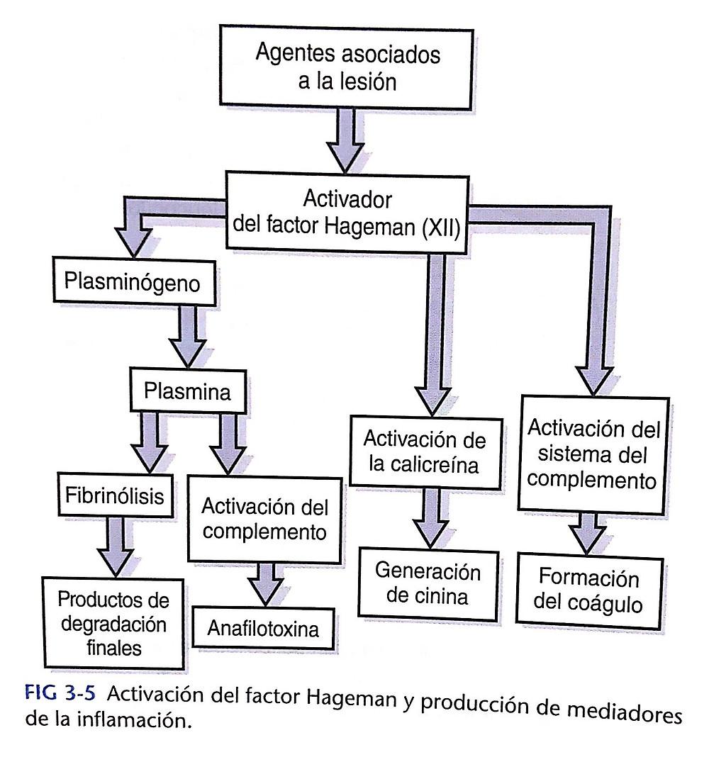 fase de inflamación: factor hageman