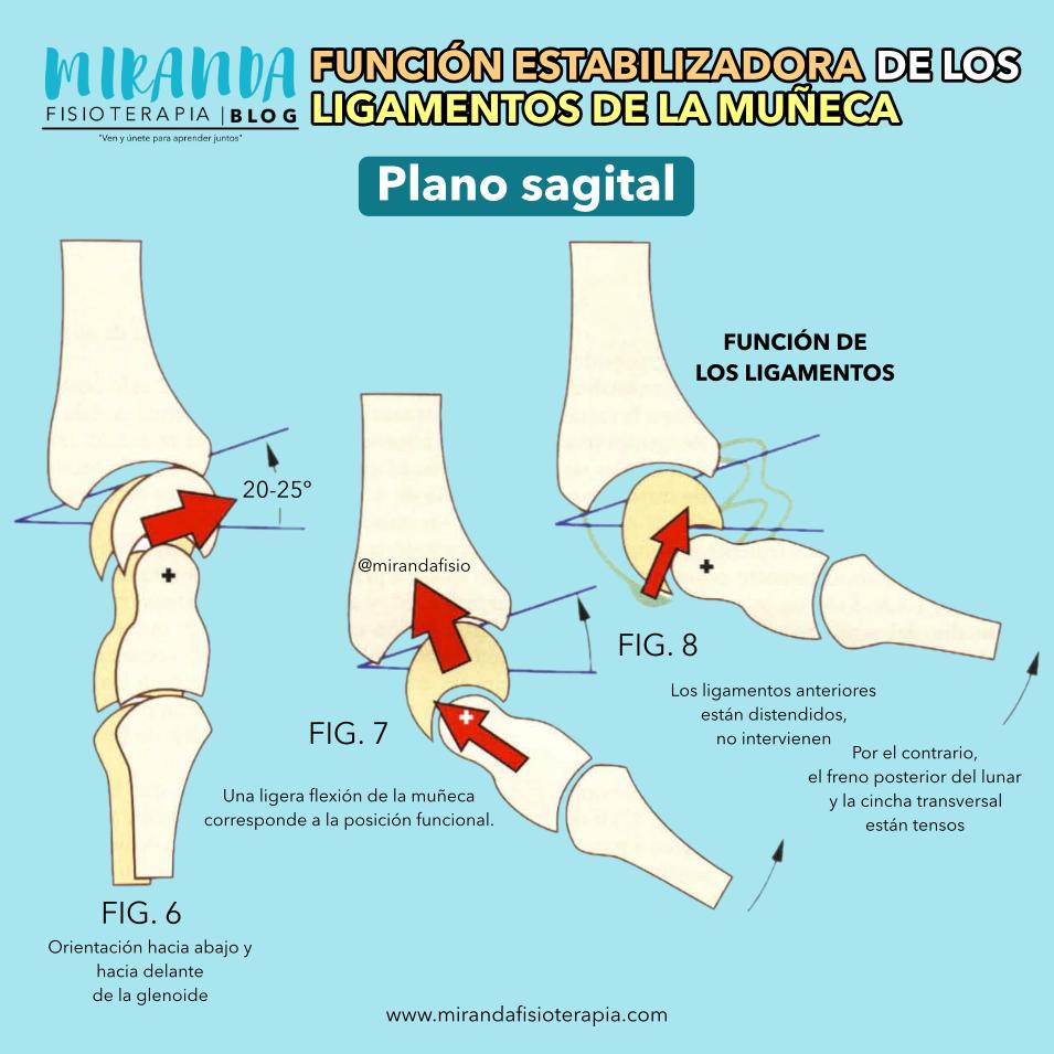 plano sagital, función estabilizadora de los ligamentos de la muñeca