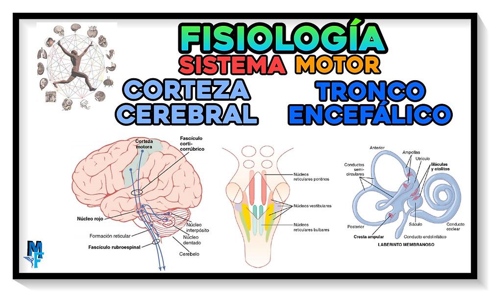 Fisiología: Sistema motor: corteza cerebral y tronco encefálico