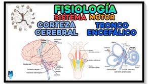 Control de la función motora por la corteza cerebral y tronco encefálico