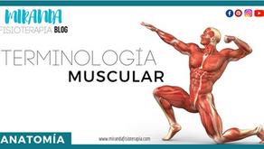 Terminología muscular