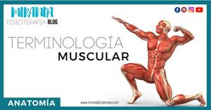 terminología muscular - miranda fisioterapia blog