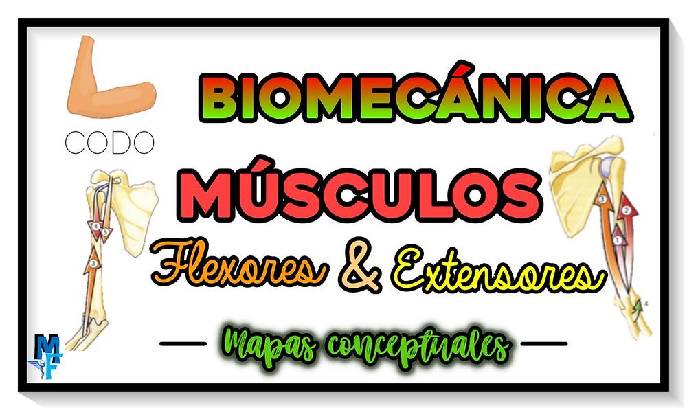 Músculos flexores y extensores del codo - Biomecánica - Miranda Fisioterapia BLOG