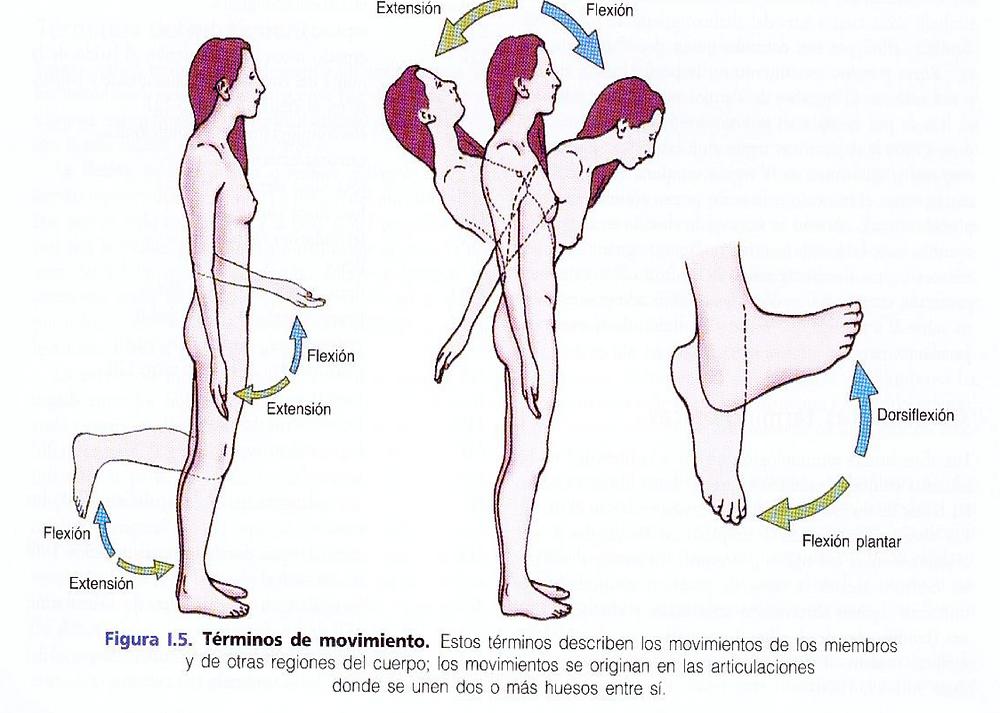 flexión y extensión de codo, rodilla, columna y pie - terminología anatómica