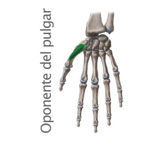 oponente del pulgar- Músculos intrínsecos de la mano