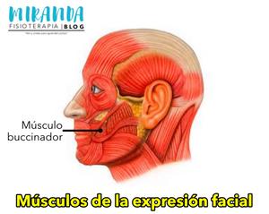 Músculo buccinador - músculos de la expresión facial