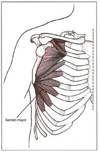Movimientos de la escápula: Serrato mayor - Aducción y rotación superior