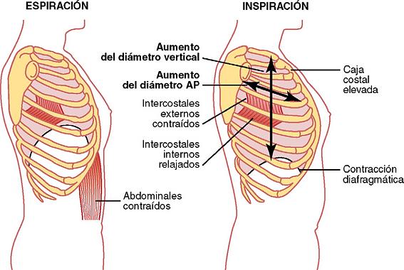 movimiento de las costillas en la respiracion