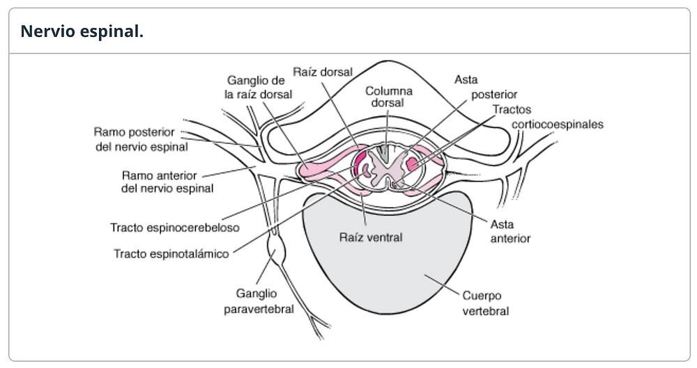 anatomía del nervio espinal - trastornos medulares - patologías