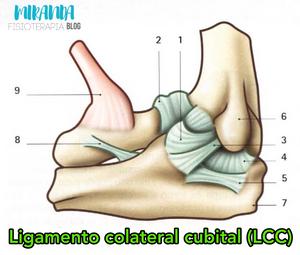 Ligamentos del codo: Ligamento colateral cubital, epitroclea, olécranon, tendon del biceps braquial - MIranda Fisioterapia BLOG