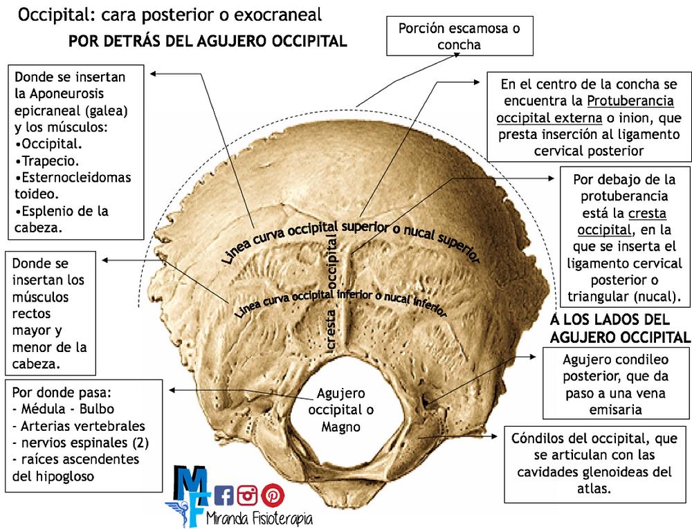 Huesos del cráneo: occipital cara posterior o exocraneal