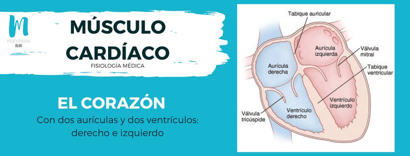 músculo cardíaco: el corazón, con dos aurículas y dos ventrículos derecho e izquierdo