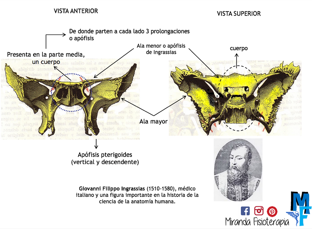 Huesos del cráneo: esfenoides vista anterior y superior