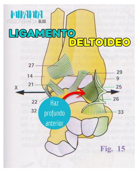 Ligamento deltoideo haz profundo