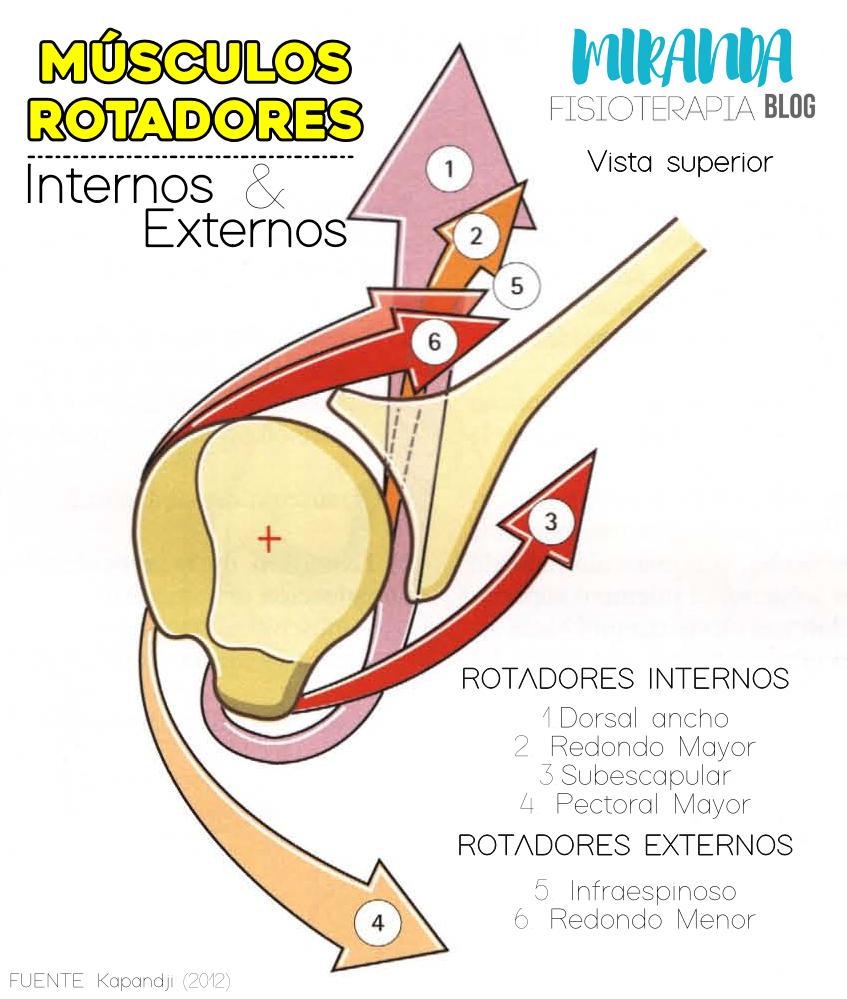 músculos rotadores del hombro: internos y externos (miranda fisioterapia blog)
