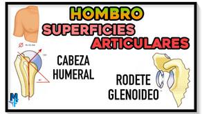 Superficies articulares de la articulación glenohumeral: cabeza humeral y rodete glenoideo