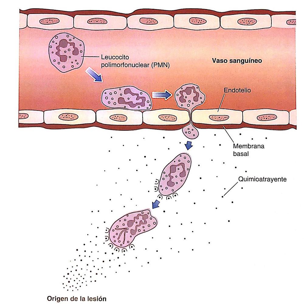 fase de inflamación: marginación, adhesión, diapédesis y migración