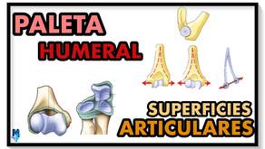 Superficies articulares del codo: paleta humeral