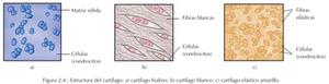 estructura del cartílago; cartílago hialino, cartílago blanco, cartílago elástico amarillo