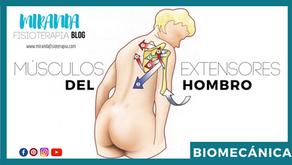 Músculos extensores del hombro