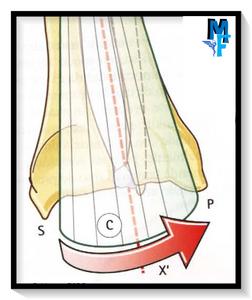Pronosupinación: rotación de la epífisis radial distal