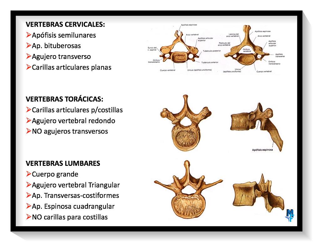 estrucutura diferencial entre vértebras
