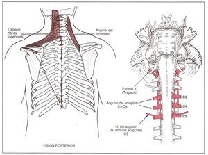 elevación de la escápula- trapecio superior y elevador de la escápula