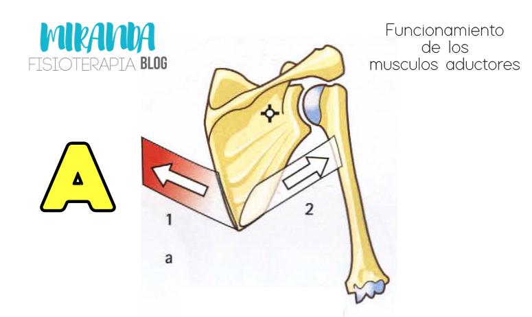 aducción y extensión del hombro: funcionamiento de la pareja muscular de la aducción
