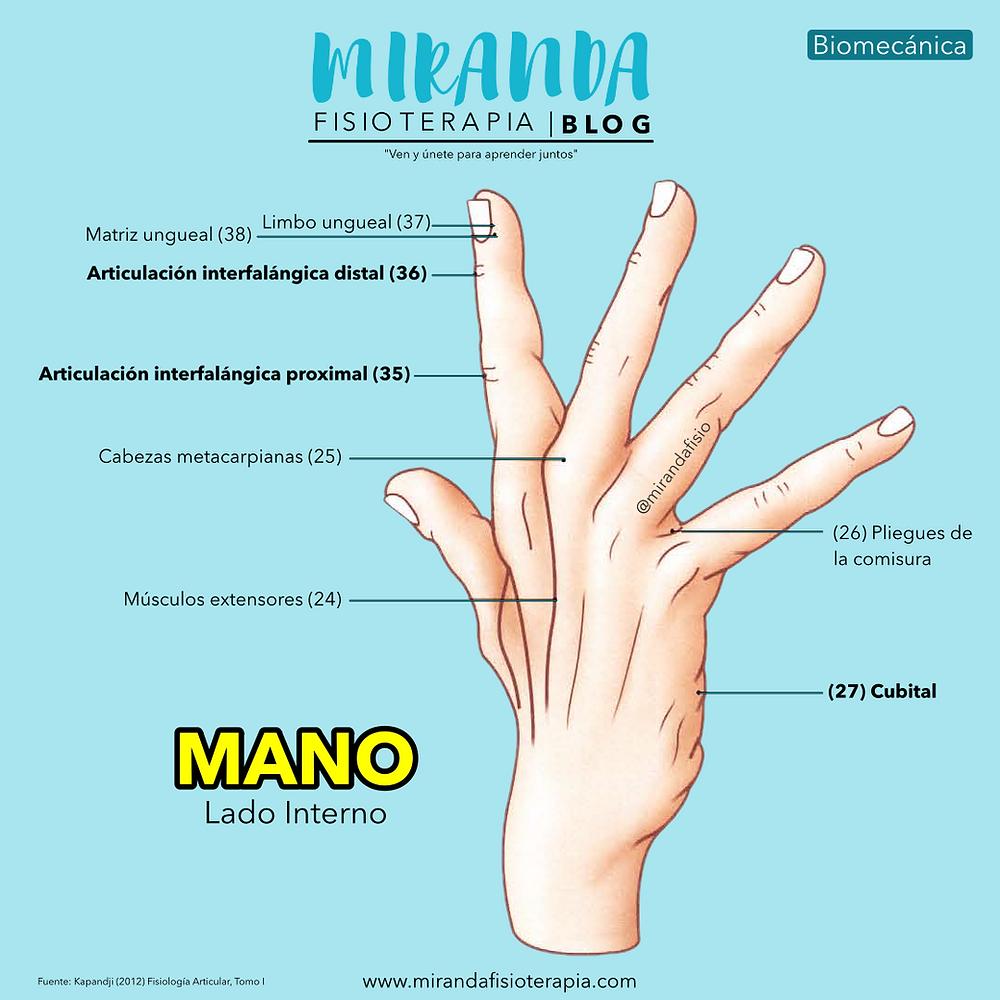 La mano vista interna. Facultad de prensión de la mano