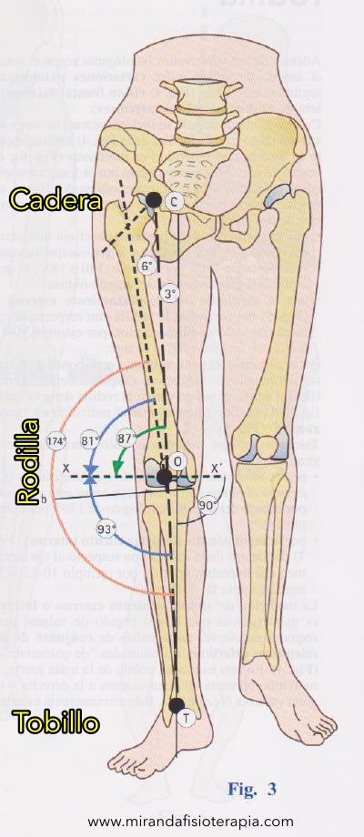 Visión en conjunto del esqueleto de ambos miembros inferiores (pélvicos)
