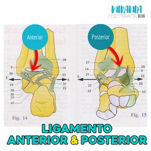 ligamentos anterior y posterior del tobillo