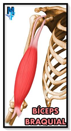 músculos cortos