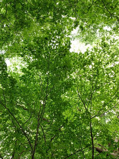 Blätterdach No. 07