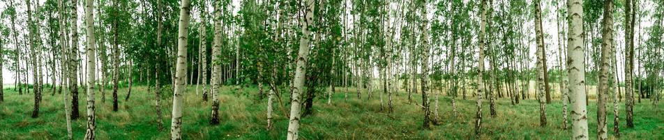 Birkenwald No. 11