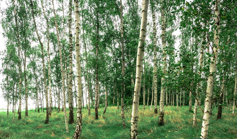 Birkenwald No. 10