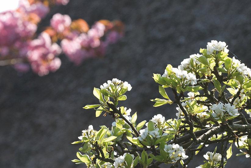 Baumblüten No. 22