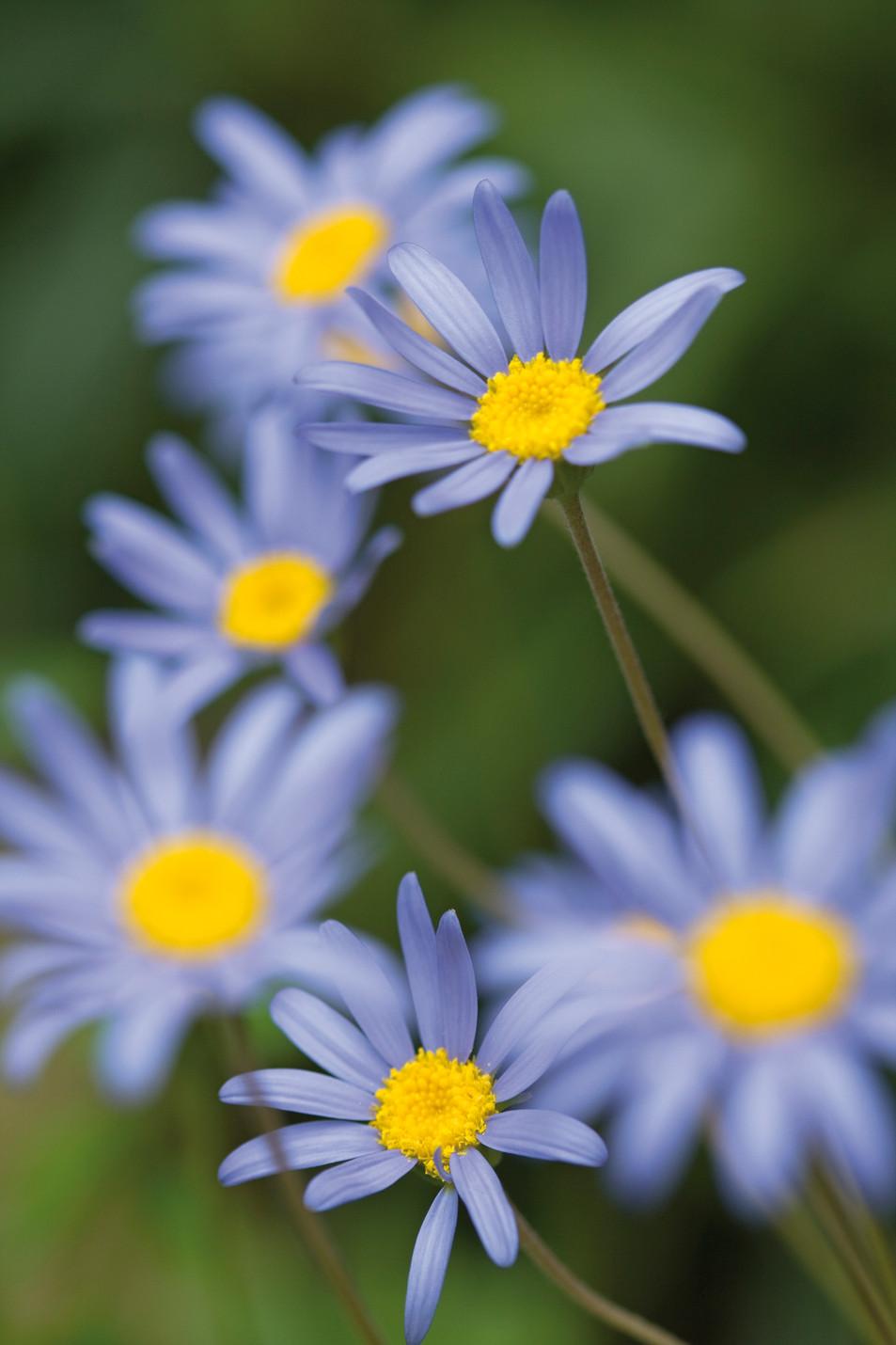 Flowers Blue No. 06