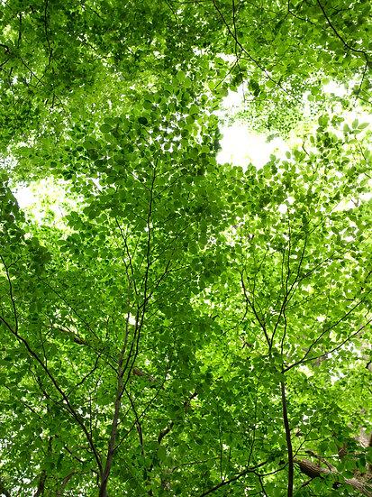Blätterdach No. 03