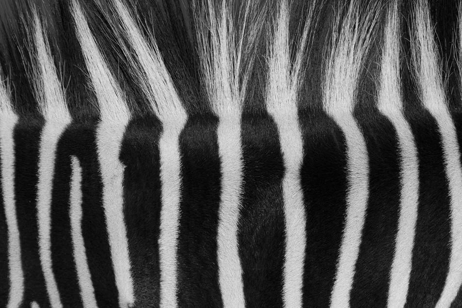 Zebra No. 04