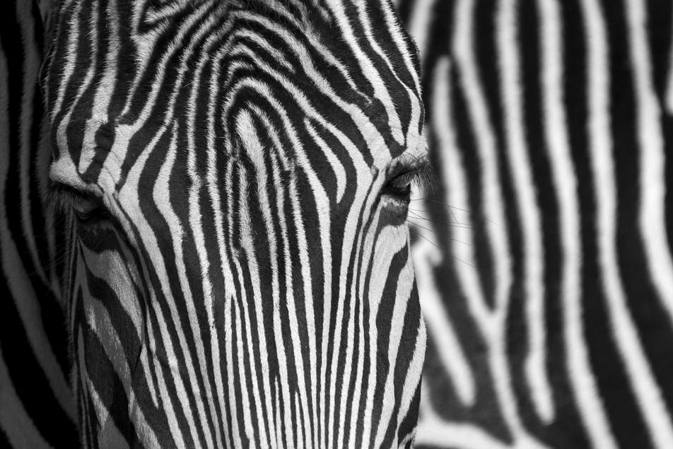 Zebra No. 05
